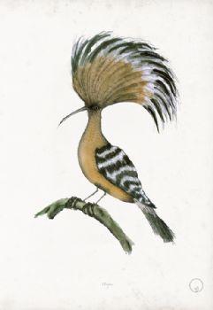 Hoopoe - artist signed print